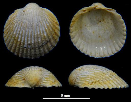 Cardium cfr. sallomacense, Miocene dell'Aquitania