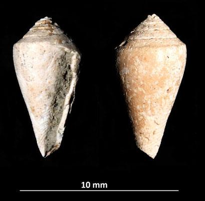 Conus striatulus? Vignola (MO)
