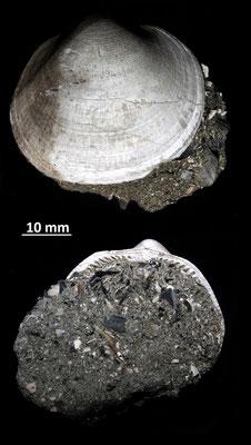 Glycymeris insubrica, Vignola (MO)