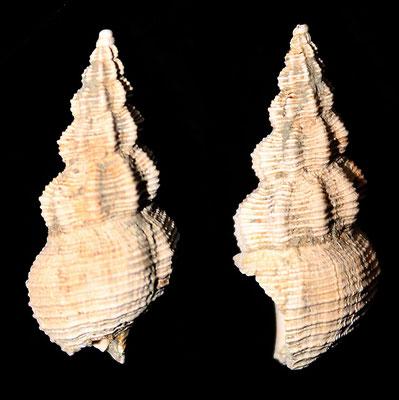 Latirus ligusticus, Pliocene di Quattro Castella (RE)