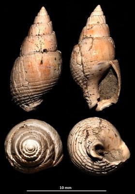 Nassarius semistriatus, Monticelli  (RE)