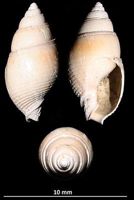 Nassarius semistriatus, calanchi di Sabbiuno (BO)