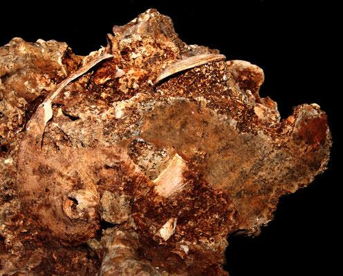 Haliotis tuberculata (calco), Sant'Agostino (Civitavecchia, RM)