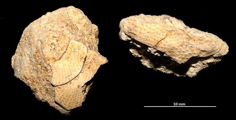 Frammenti di echinidi, sabbie gialle a echinodermi di Tarquinia (VT)