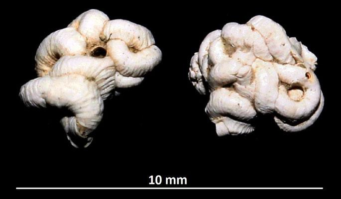 Petaloconchus intortus, calanchi di Sabbiuno (BO)