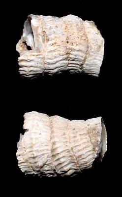 Petaloconchus intortus, Vignola (MO)