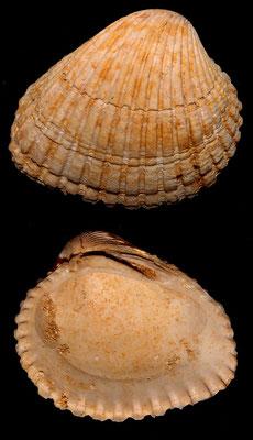 Venericardia pinnula, Miocene dell'Aquitania