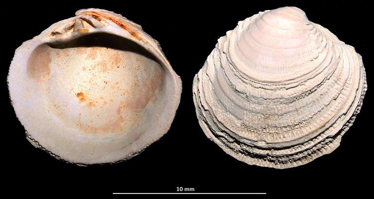 Venus multilamella, esemplare molto eroso, Macchia della Turchina (Monteromano, VT)