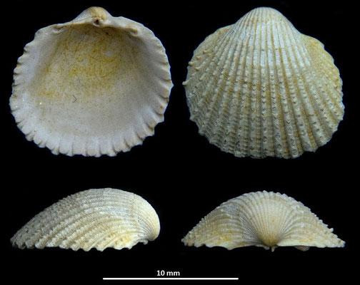 Cardium sallomacense, Miocene dell'Aquitania