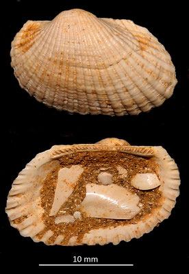 Anadara girondica, Miocene dell'Aquitania