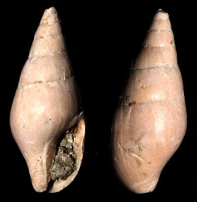 Mitrella scripta, Macchia della Turchina (Monteromano, VT)