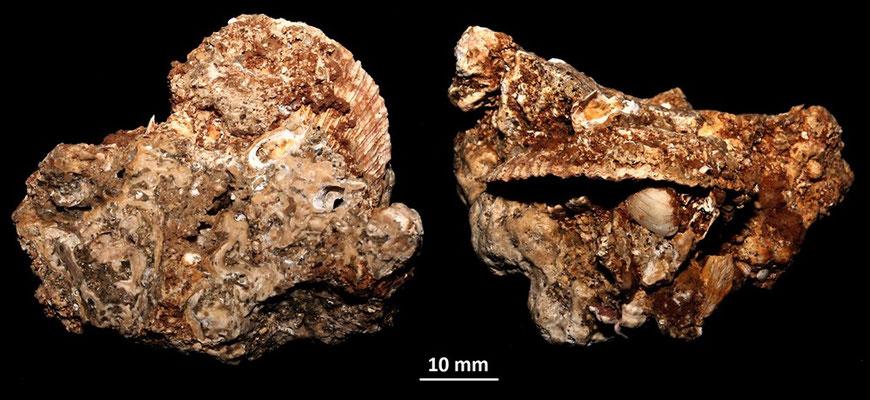 Spondylus gaederopus con Striarca lactea, Sant'Agostino (Civitavecchia, RM)