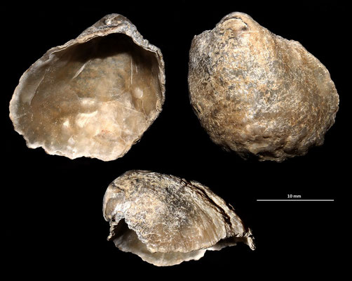 Anomia ephippium, Tarquinia (VT)