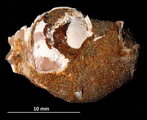 Neverita josephinia, Sasso Marconi (BO) incrostata dal briozoo Membranipora membranacea