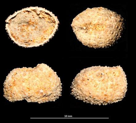 Frammento di echinide, sabbie gialle a echinodermi di Tarquinia (VT)