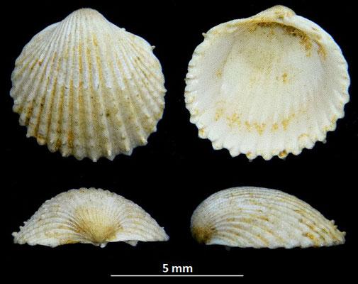Cardium burdigalinum (giovanile), Miocene dell'Aquitania