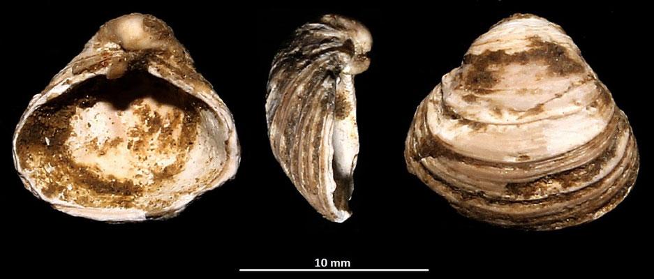 Corbula gibba, vicino a Ara della Regina (Tarquinia, VT)