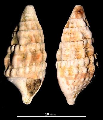 Cerithium cfr. lividulum, Macchia della Turchina