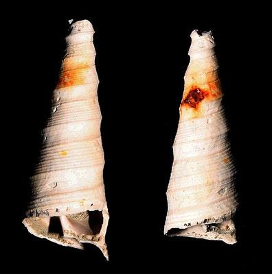 Turritella subangulata, Quattro Castella (RE)