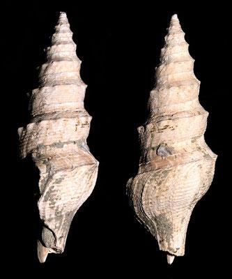 Turricula dimidiata, Rio Rocca, Pliocene