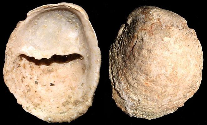 Crepidula moulinsi, Macchia della Turchina (Monteromano, VT)