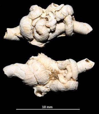 Vermetus triquetrus e Petaloconchus intortus, Macchia della Turchina.