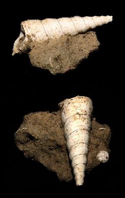 Turritella subangulata, calanchi di Sabbiuno (BO)