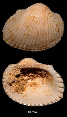 Anadara diluvii, Miocene dell'Aquitania