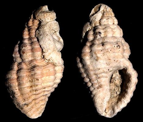 Pollia dorbignyi, Macchia della Turchina (Monteromano, VT)