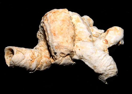 Thylacodes arenarius, Macchia della Turchina.