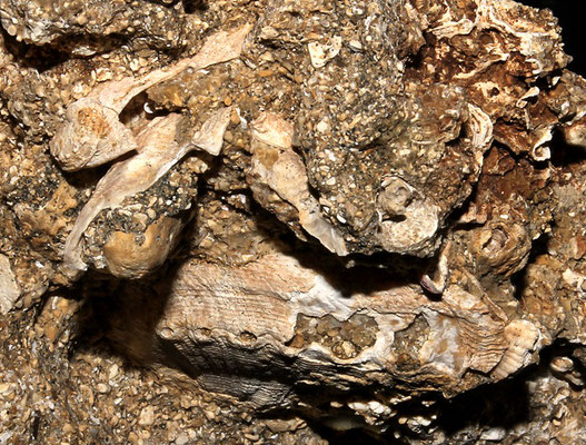 Haliotis tuberculata, Sant'Agostino (Civitavecchia, RM)