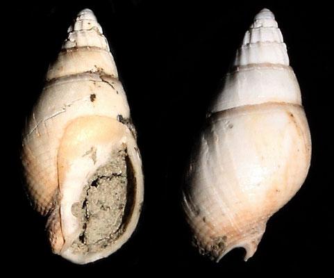 Nassarius solidula, Vignola (MO)