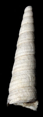 Turritella tornata, Marano sul Panaro, Pliocene