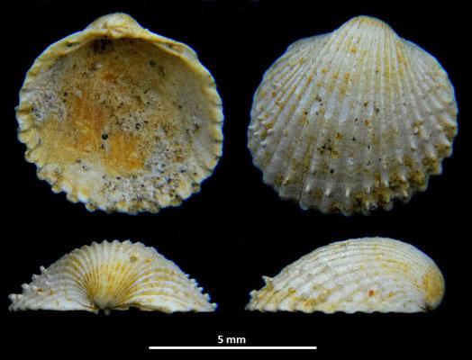 Cardium cfr. burdigalinum (giovanile), Miocene dell'Aquitania