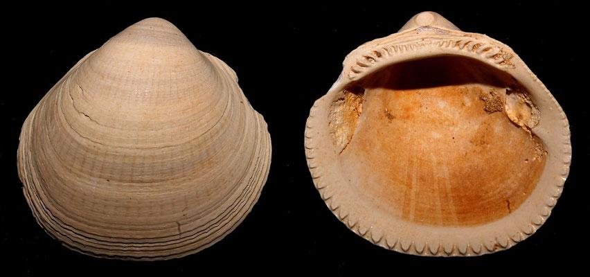 Glycymeris insubrica, Miocene dell'Aquitania
