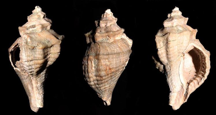 Heteropurpura polymorpha, Rio Rocca, Pliocene