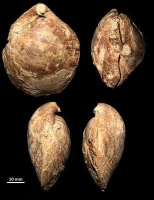 Terebratula terebratula, Montepulciano (GR), Pliocene