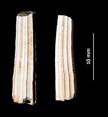 Dentalium sexangulum, Quattro Castella (RE)
