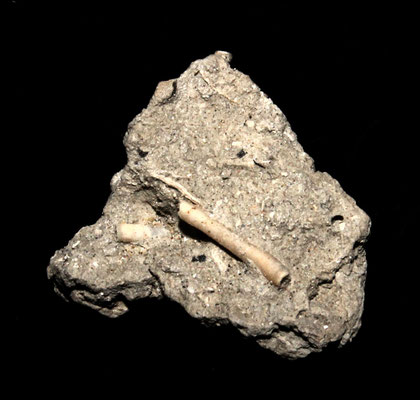 Ditrupa cornea su matrice argillosa, calanchi di Sabbiuno (BO)