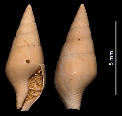 Atilia columbelloides, Miocene dell'Aquitania