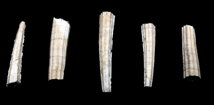 Dentalium sexangulum, Vignola (MO)