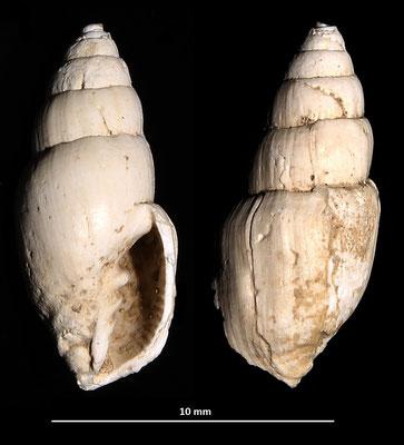 Vexillum ebenus, Macchia della Turchina (Monteromano, VT)