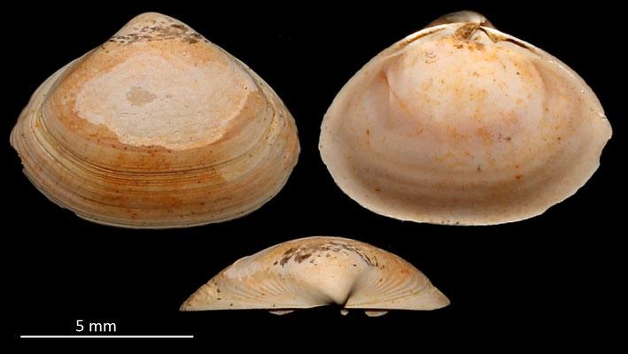 Spisula subtruncata var. triangula, Miocene dell'Aquitania
