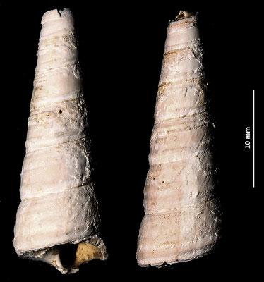 Haustator vermicularis, Macchia della Turchina (Monteromano, VT)