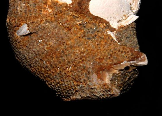 Membranipora membranacea su Neverita josephinia (Sasso Marconi, BO)