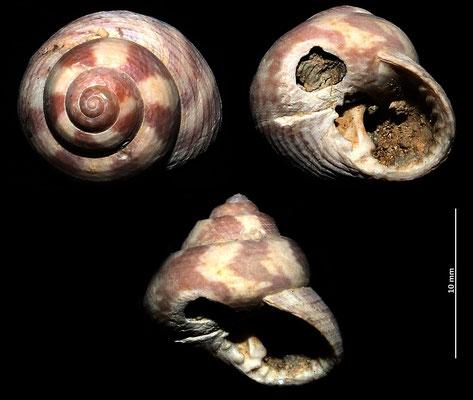 Clanculus jussieui, Macchia della Turchina (Monteromano, VT)