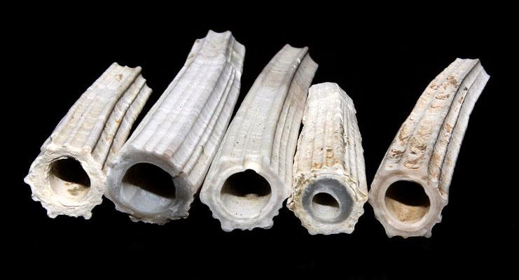 Dentalium sexangulum, calanchi di Sabbiuno (BO)