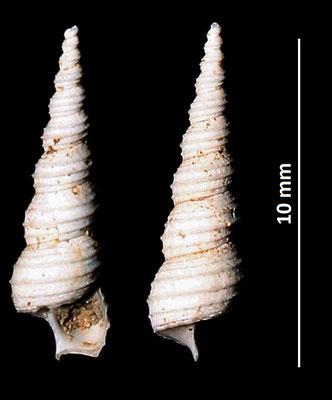 Turritella tricarinata, Vignola (MO)