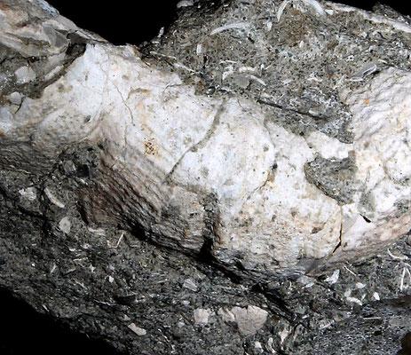 Thylacodes arenarius, Vignola (MO)