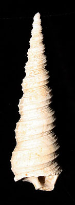 Turritella tricarinata cfr. tricarinata, torrente Stirone